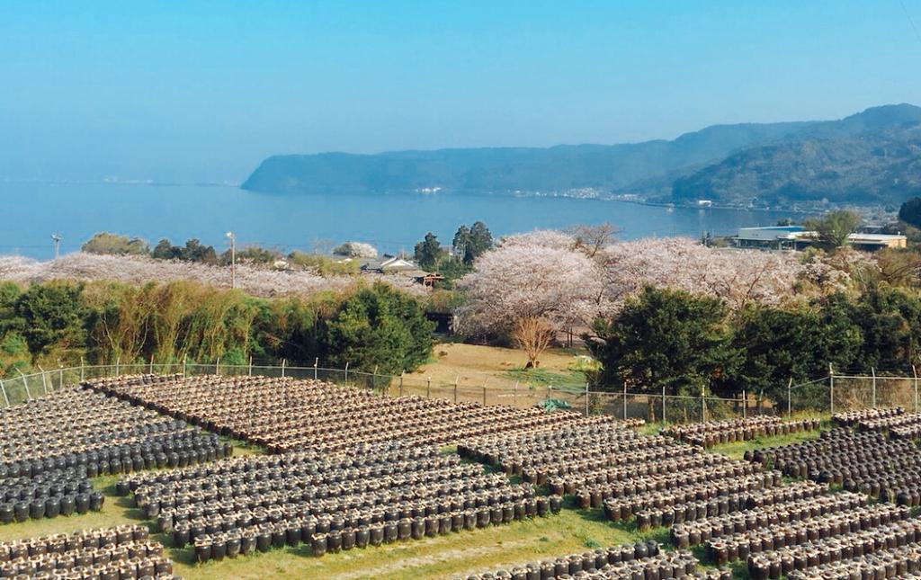 桜とカメ壺畑